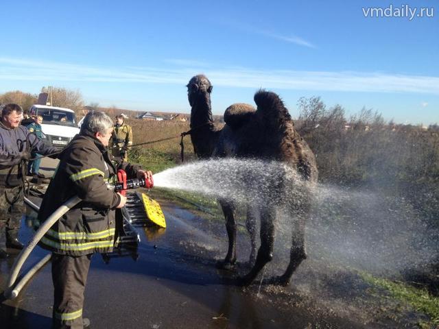 Спасатели вызволили циркового верблюда, провалившегося в болото
