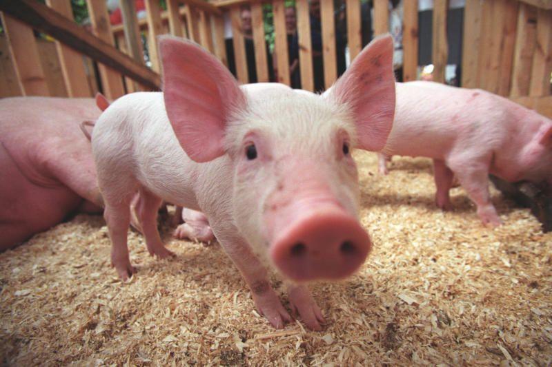 Африканская чума свиней - угроза разорения