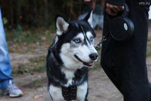 Хаски — древнейшая порода ездовых собак родом с Дальнего Востока, у нее отсутствует ген агрессии