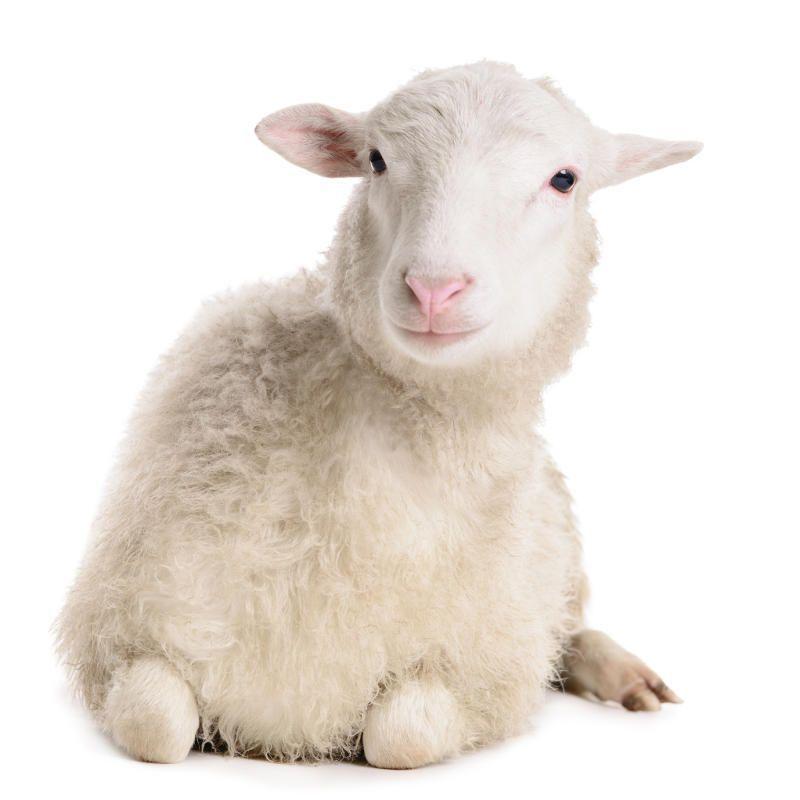 Скоро-скоро... год овцы