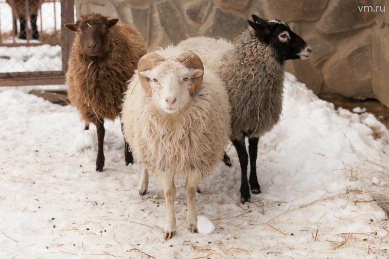 У нас живут самые новогодние овечки