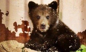 Медвежонка, снятого с дерева в Новой Москве, отправили на реабилитацию в Тверскую область