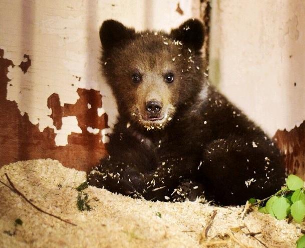 Медвежонка, спасенного в Новой Москве, выпустят на волю в августе