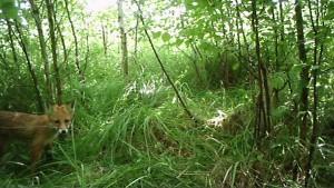7 октября 2015 года, в лесах Новой Москвы. Видео, зафиксированное фотоловушкой. Молодой лис унюхал котлетку с приманкой, полакомился ею и, слелав селфи на видеокамеру, отправился по своим делам. Уже привитым. А значит — не опасным