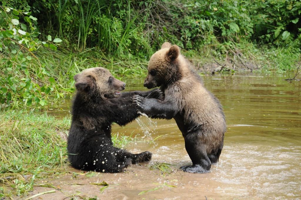 И каждый медвежонок при встрече лапу подает