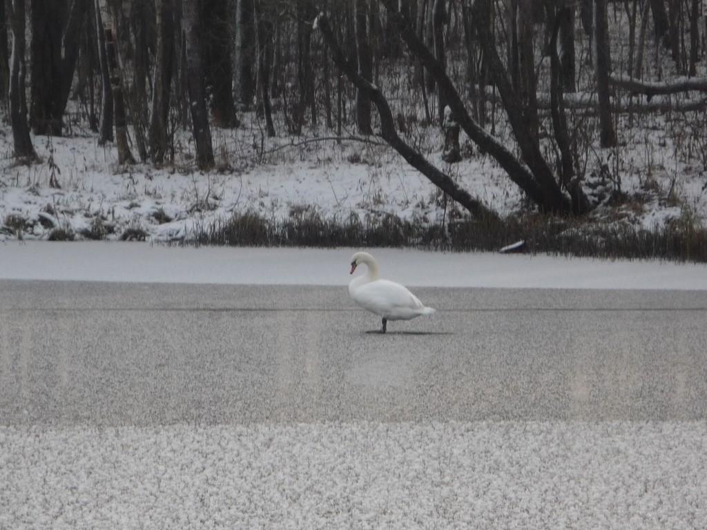 В Кленовском пожарным пришлось спасать лебедя