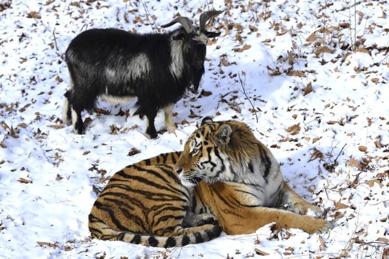 Необычная дружба Амура и Тимура привлекла внимание всей страны