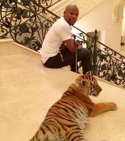 Великому боксеру Флойду Мейвезеру в Москве подарили тигренка