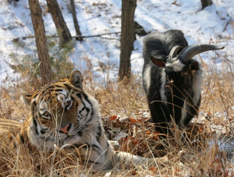 Про необычную дружбу тигра и козла снимут мультфильм