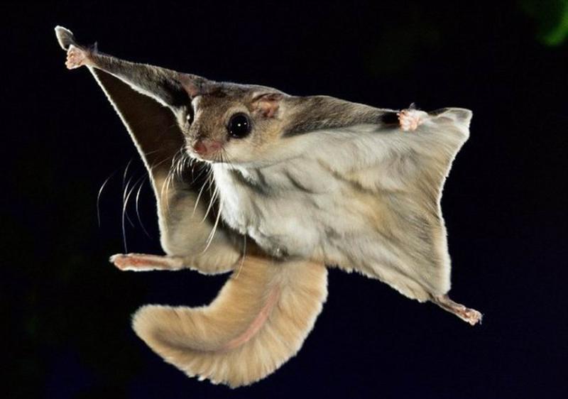 Сбежавшие от биологов белки-летяги обосновались под Троицком