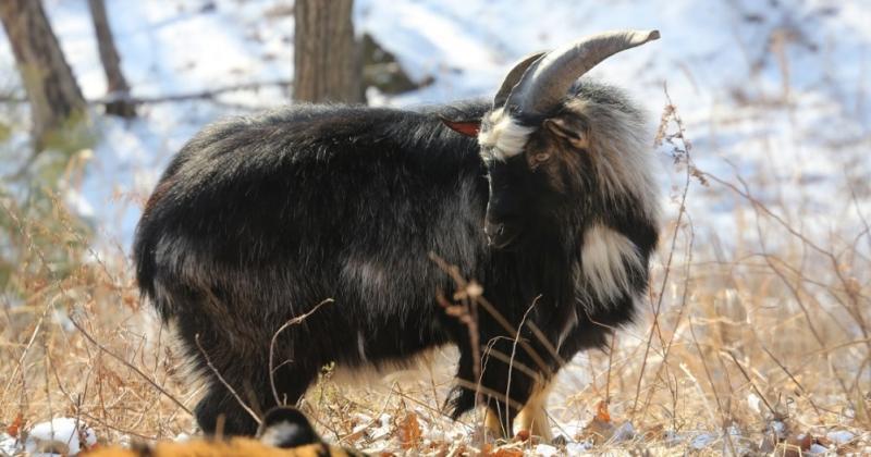 Из-за ожирения козла Тимура посадили на строгую диету