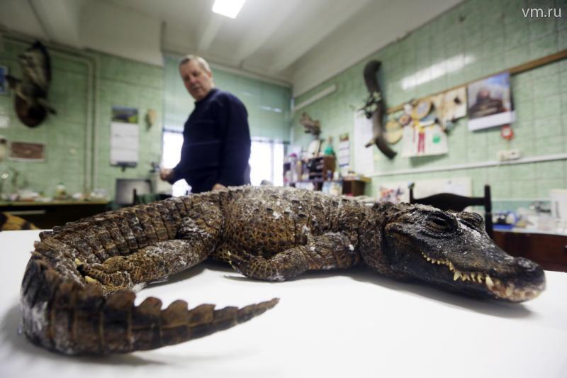 Таксидермисты доставили самого маленького крокодила в Дарвиновский музей