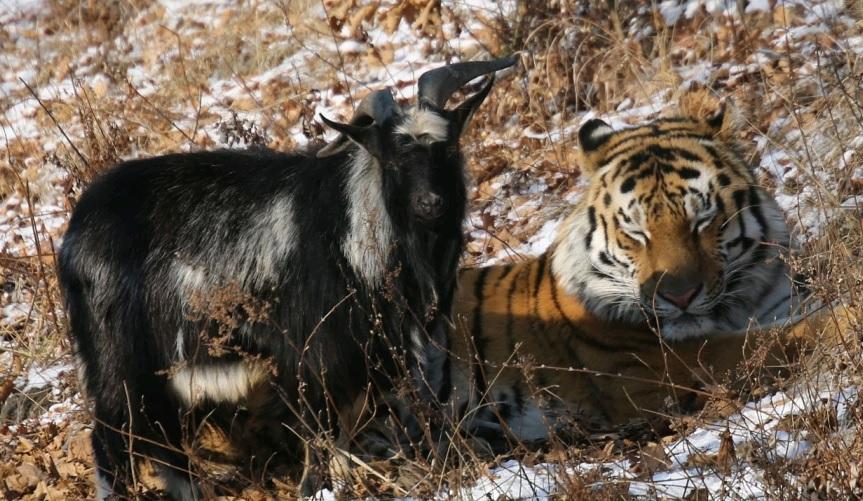 После выписки козла Тимура поселили по соседству с Амуром