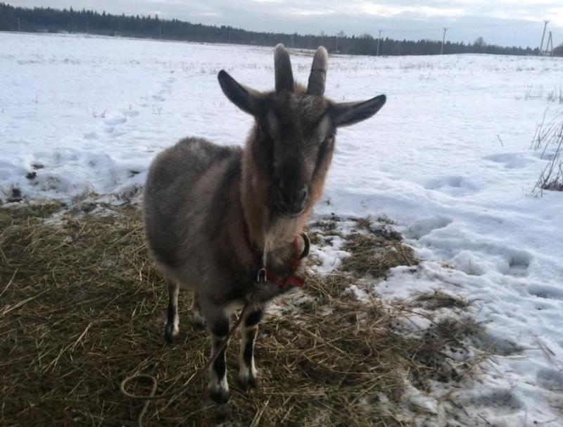 Фермеры устроили сватовство козла Тимура и козочки Меркель