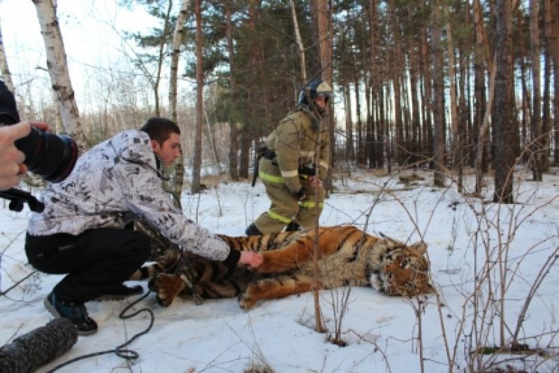 Из зооопарка в Воронежской области сбежал тигр
