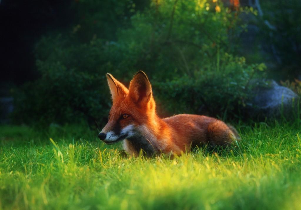 Где нет лисы, там нельзя деревню основать