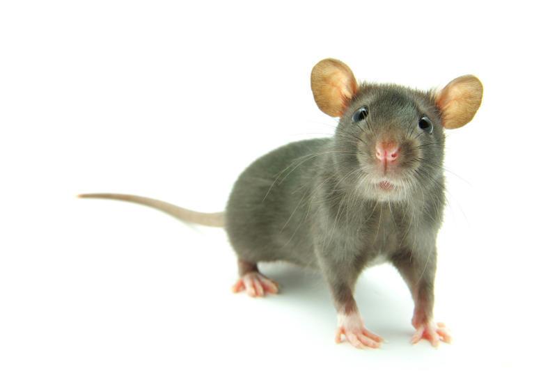 Роспотребнадзор призвал москвичей не трогать крыс