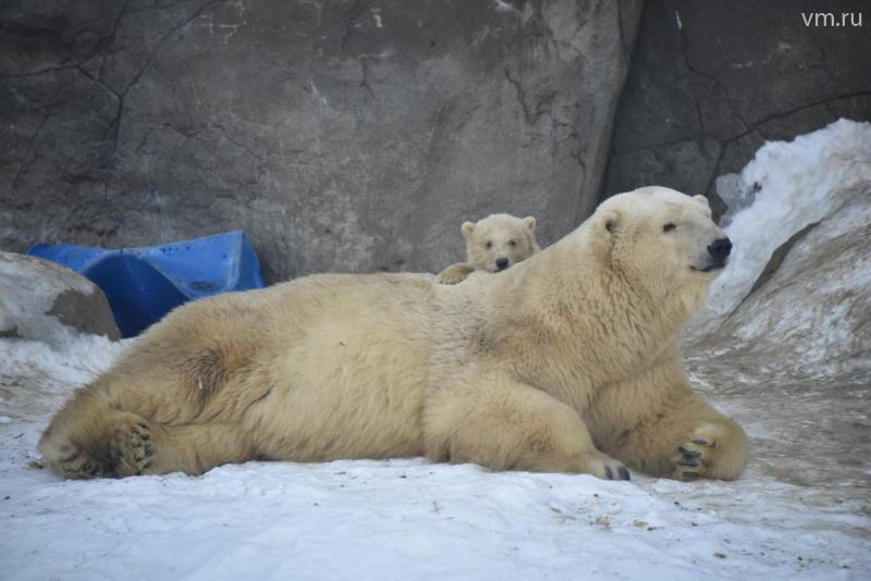 В Московском зоопарке отпразднуют День белого медведя