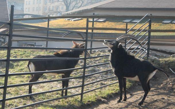 В Московском зоопарке на свет появились три черные антилопы