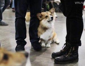 Щенки корги начнут служить в московской полиции