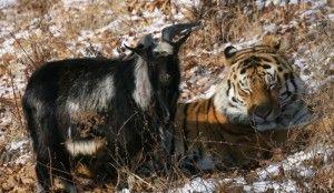Тигр Амур оставил на спине козлика раны от своих клыков. Фото: Дмитрий Мезенцев, официальный сайт Приморского сафари-парка (safaripark25.ru)