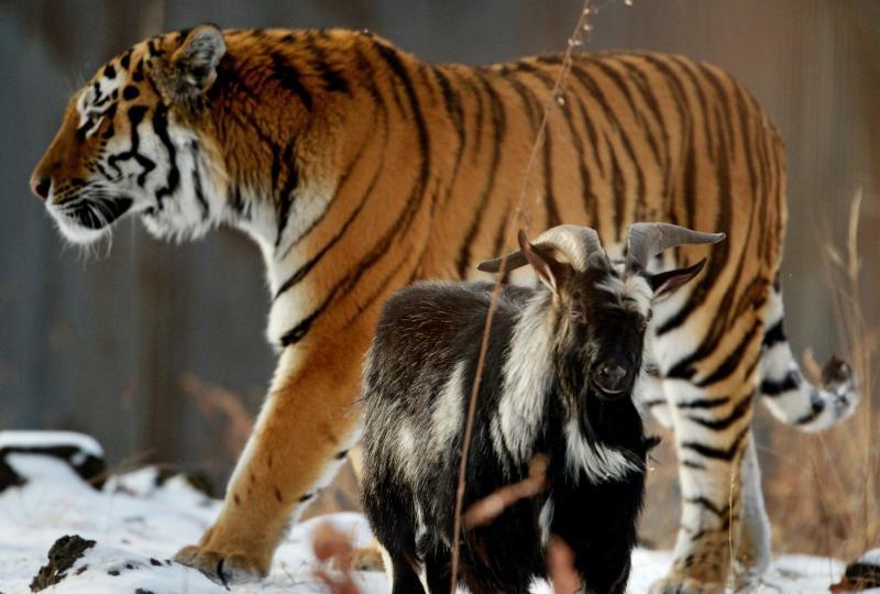Тигр Амур и козел Тимур: раскрыт секрет дружбы