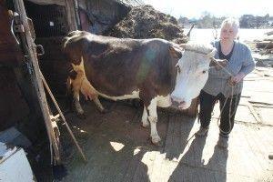 Крекшино. Коровы. На фото: Валентина Трусова, корова Малышка, теленок Звездочка.