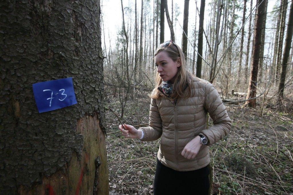 19 апреля 2016 года. Ульяновский лесопарк. Биолог Мария Наумова изучает пораженное жуком-короедом дерево. Синяя бирка значит, что дерево надо сносить