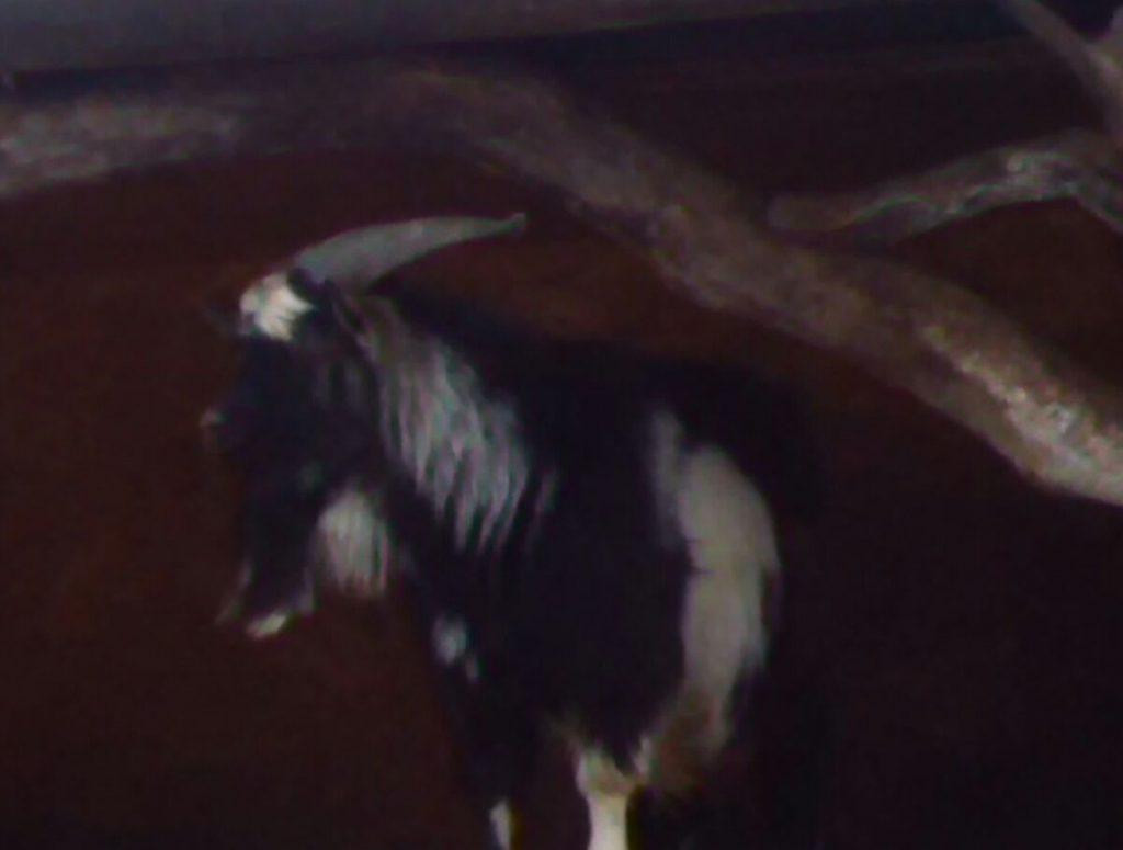 Москвичи увидят козла Тимура после его поправки