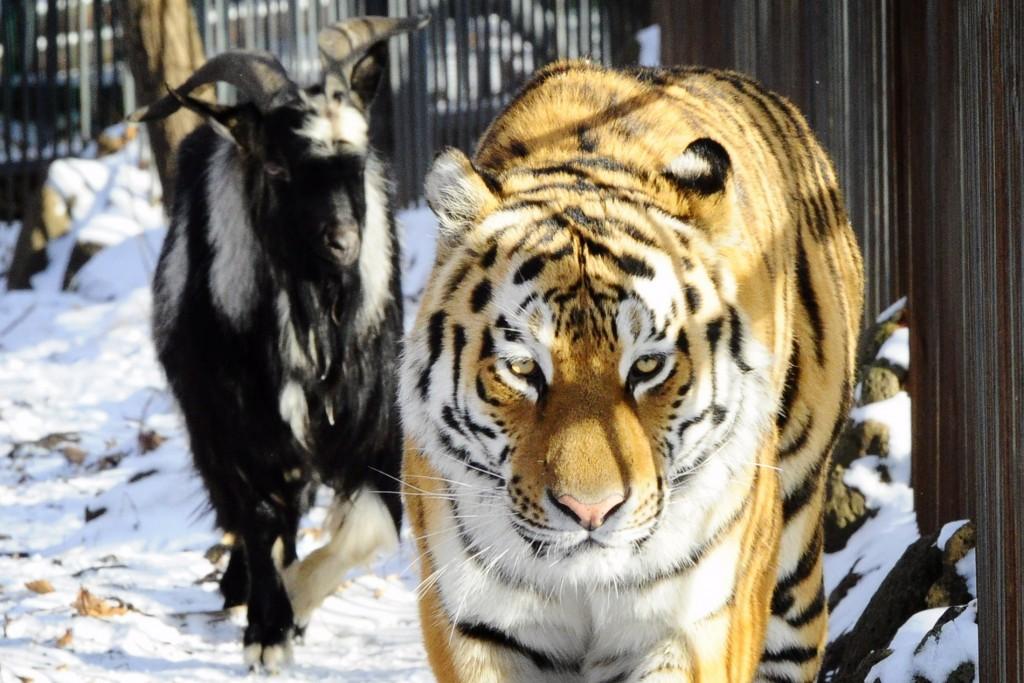 Козел Тимур не вернется в вольер к тигру Амуру