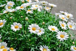 daisies-1373075_960_720