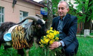 Козел Тимур идет на поправку благодаря московским ветеринарам