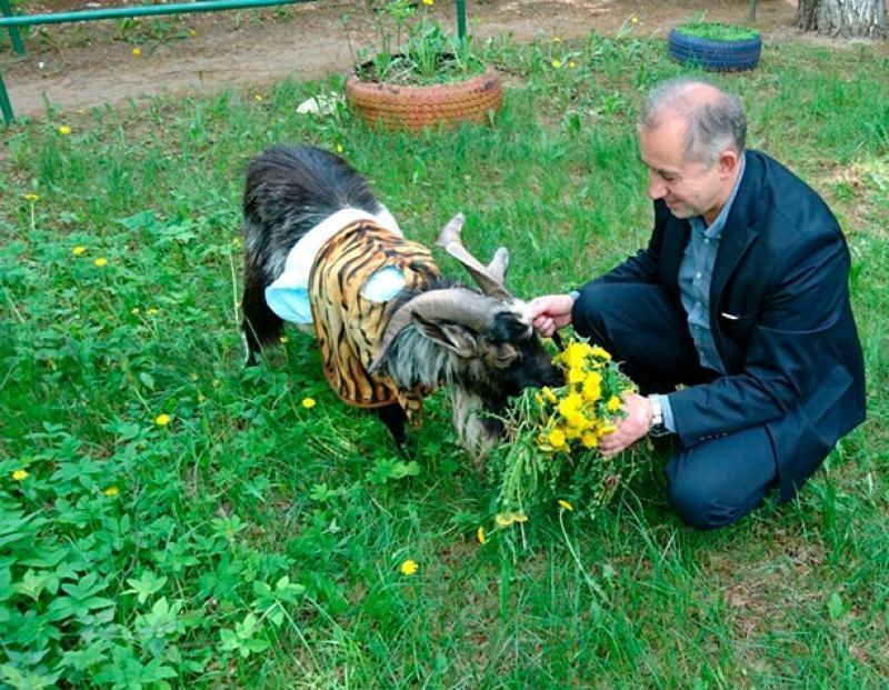 В Москве организуют встречу с козлом Тимуром для его поклонников