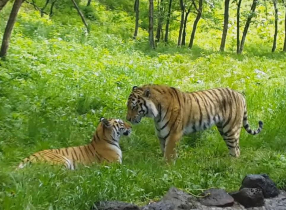 Тигрица Уссури покорила сердце Амура