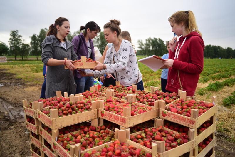 Совхоз имени Ленина пригласил всех желающих на сбор клубники