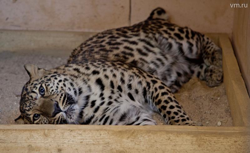 Леопард, спасенный от браконьеров, летит в Москву из Владивостока