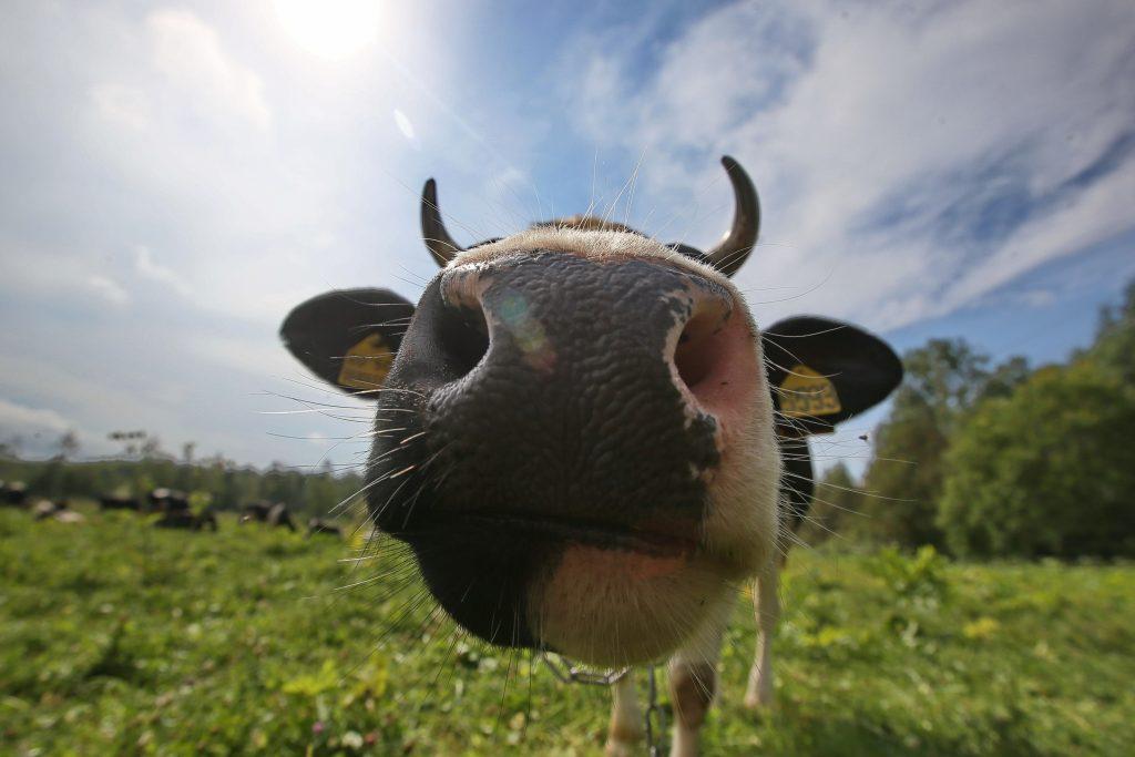 Выигрывает добрая корова