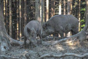 Африканской чумой свиней грозят только дикие кабаны. Фото архивное.