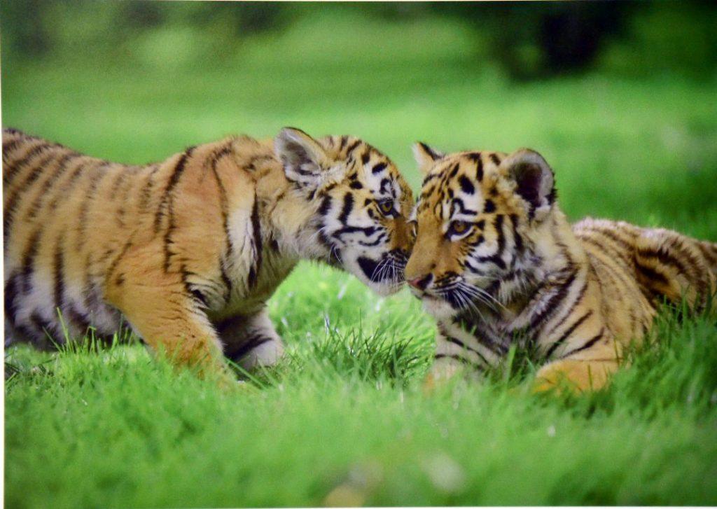Обратим внимание на живую природу: вместе защитим амурского тигра