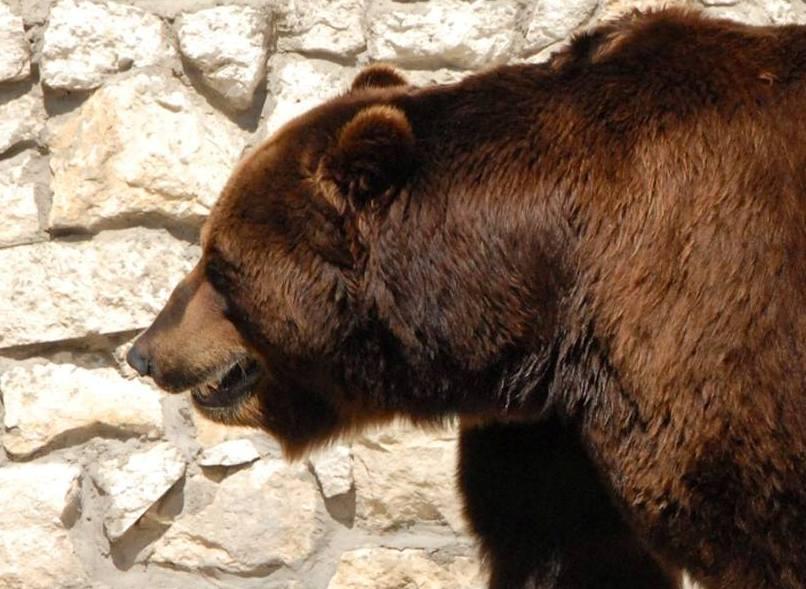 Сонное царство: в Московском зоопарке медведи массово впали в спячку
