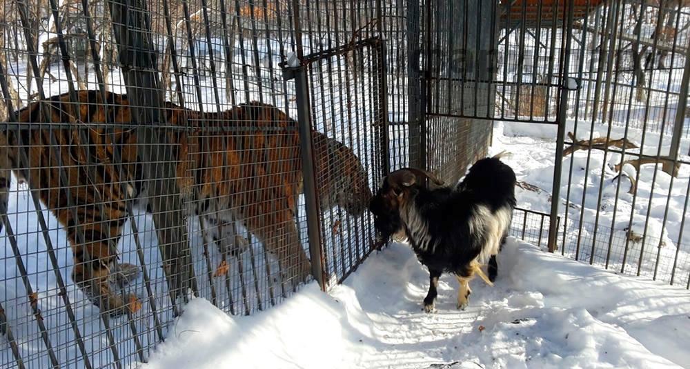 Тигр Амур и козел Тимур подружились ровно год назад