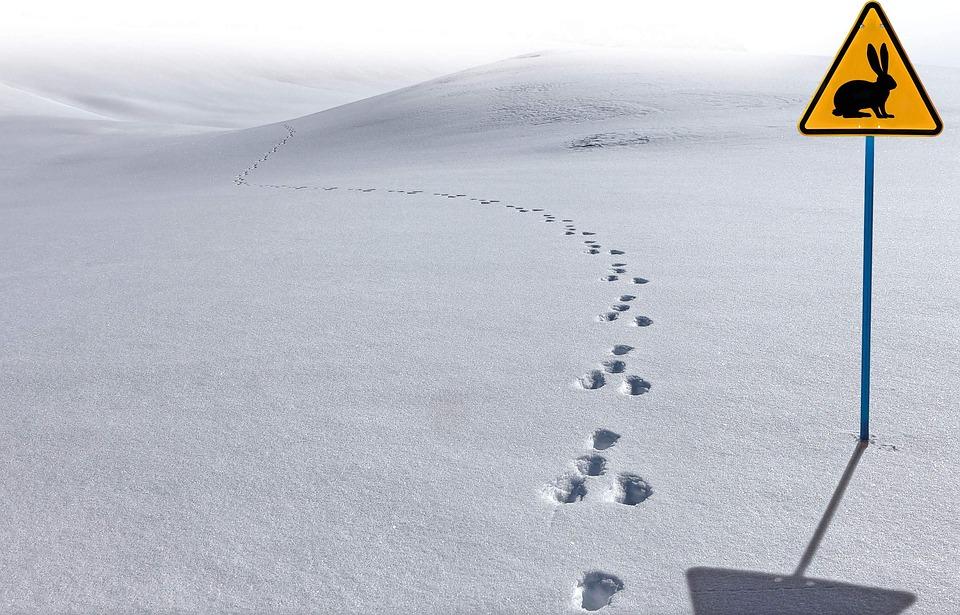 Зайцы оставляют следы в Москве. Можно ли поймать косого?
