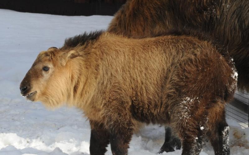 Сычуаньский такин родился в Московском зоопарке