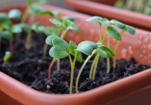 radish-sprouts-1407319_960_720