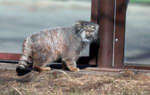В День кошек москвичи встретятся с манулом и тигром