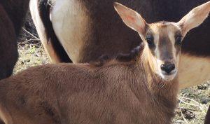 В Московском зоопарке родился теленок редкой черной антилопы