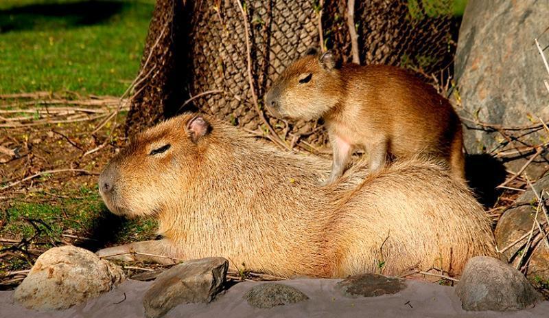 Детеныш капибары родился в Московском зоопарке