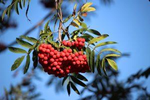 В Ватутинках посадили рябину и каштаны. Фото: pixabay.com