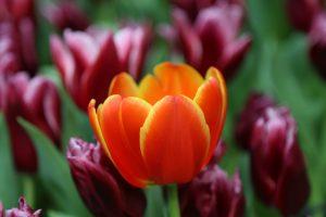 Сразу за отцветшими тюльпанами и нарциссами на клумбах расцветут нарядные бегонии, петунии и бархатцы. Фото: pixabay.com