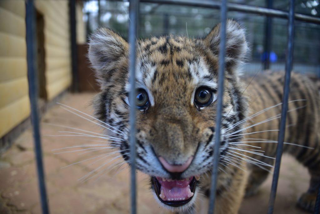 В Московском зоопарке роились сразу четыре тигренка